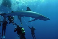 Blue shark diving