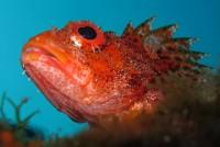 Scorpion fish . Scorpaena madeirensis © Tiago Castro . Dive Azores