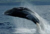 Sperm whale . Dive Azores . Suzana Morais