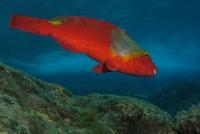 Parrot fish . Sparisoma cretense © Tiago Castro . Dive Azores